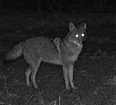 Technology eases transition into coyote hunting