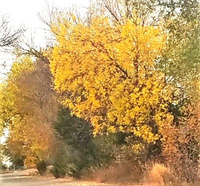 Those yellow ash trees