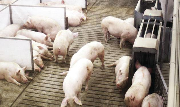 Iowa student's invention helps pigs avoid getting squished