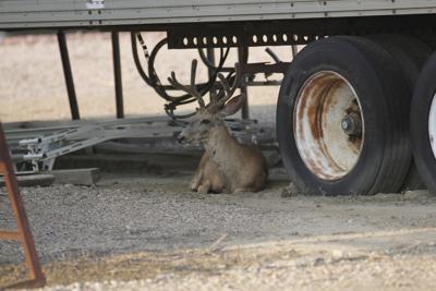072514 mule deer off Wells Ave3.JPG