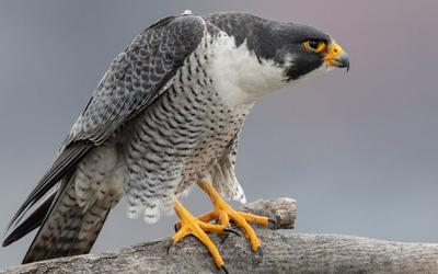 Image result for peregrine falcon