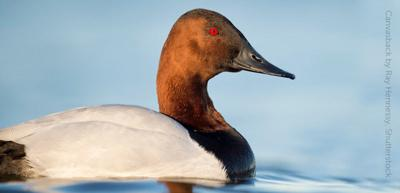 Canvasback - bird of the week