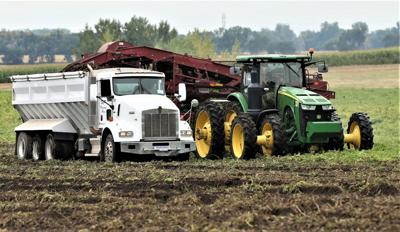 Potatoes in the field looking bleak