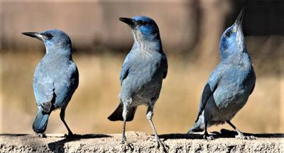 Pinyon Jay (blue crow) is a pine seed eater