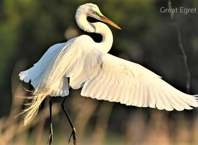 Great Egret survived North American plumage industry