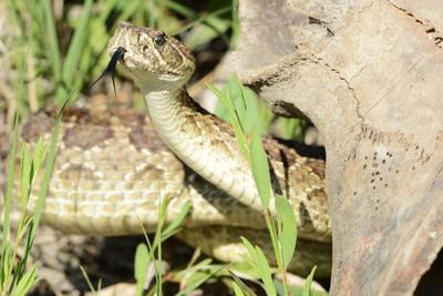 Researcher: Prairie rattlesnake bite packs powerful punch