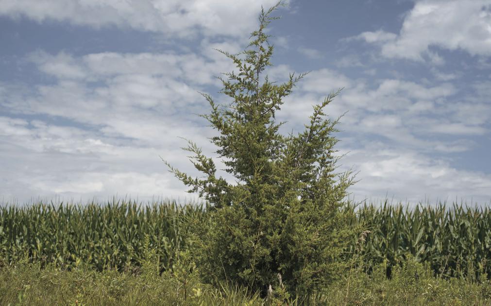 Fast-spreading trees a headache in Nebraska, Iowa, Dakotas