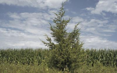 In This Friday July 28 2017 Photo An Eastern Red Cedar Tree Grows Near A Corn Field Cortland Neb The Fast Growing Trees Species That S Up