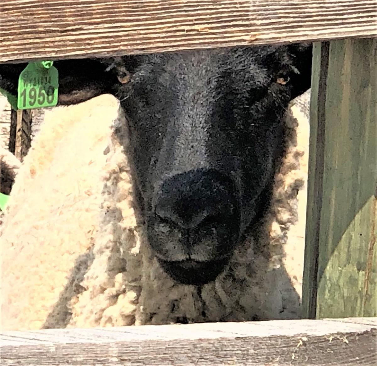 S.D. sheep farmers hurting as pandemic reduces demand and processing capacity