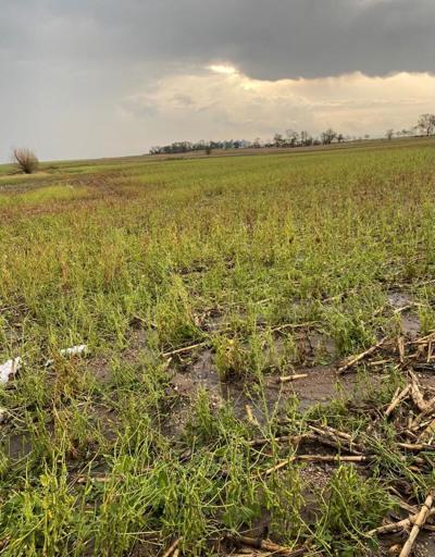 Hail-damaged crops