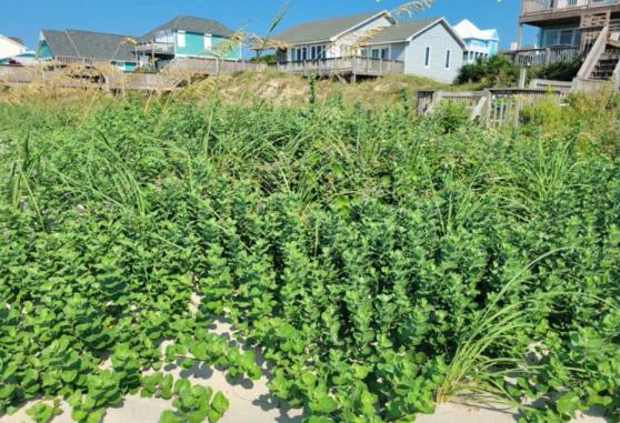 Carteret shore officials to seek advice on invasive plant eradication
