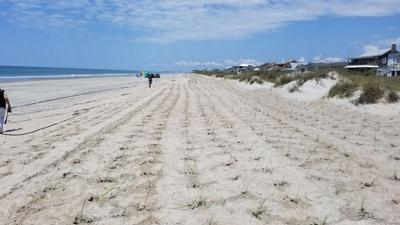 Company to harvest sea oats in Emerald Isle for new dunes