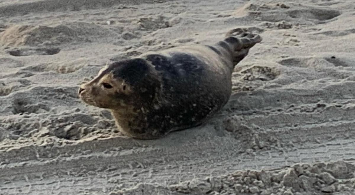 Juvenile seal enjoys winter sun on Emerald Isle strand