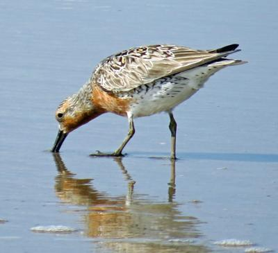 State Congressional delegation wants more public comment time on rufa red knot critical habitat proposal