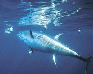 Fishermen: Hold off on bluefin tuna
