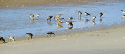 Carteret County requests feds withdraw rufa red knot critical habitat proposal
