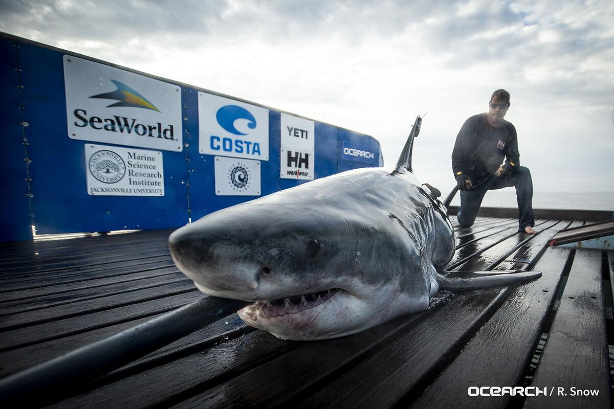 17 Foot Great White Shark Tagged Off Canada Found Along Outer Banks Regional Carolinacoastonline Com