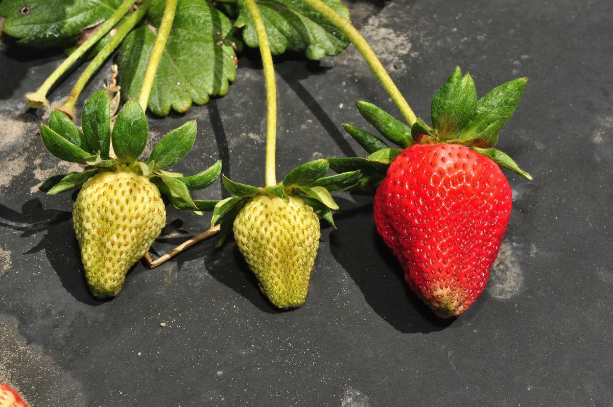 Strawberry farmers report bumper crop with fields ripe for picking