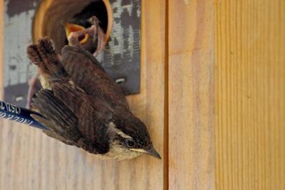 COLUMN: Baby birds create springtime adventures
