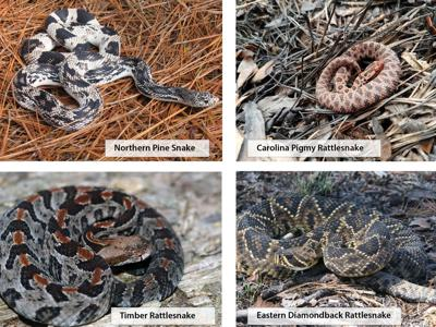 Wildlife commission offers advice on coexisting with wild snakes