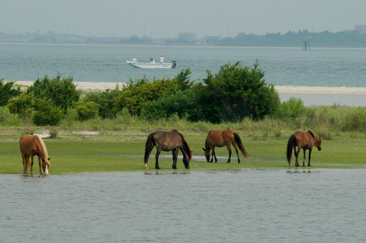 Report shows majority of Shackleford Banks horses are female