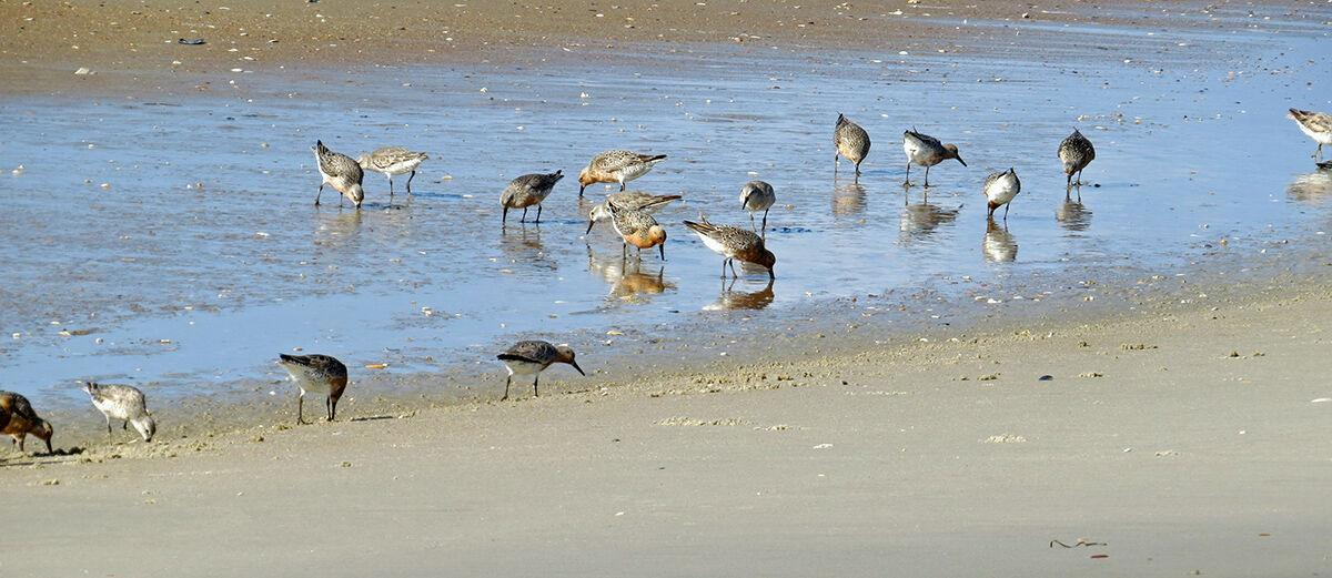 During hearing, speakers urge officials to protect threatened shorebird; Carteret County to oppose critical habitat designation