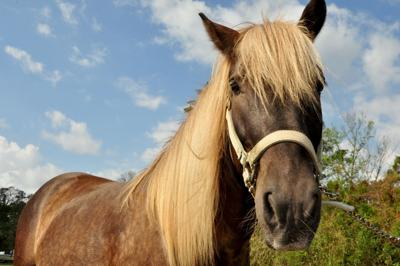 After 28 horses drown, new stallion to be introduced