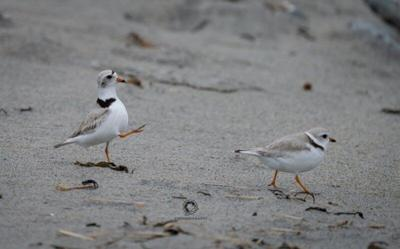 Help Protect Endangered Piping Plovers