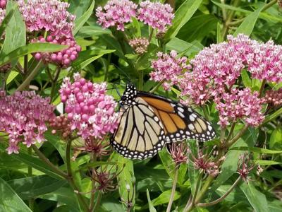 Milkweed for Monarchs In East Kingston