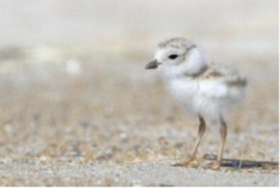 Watch for Piping Plover Chicks