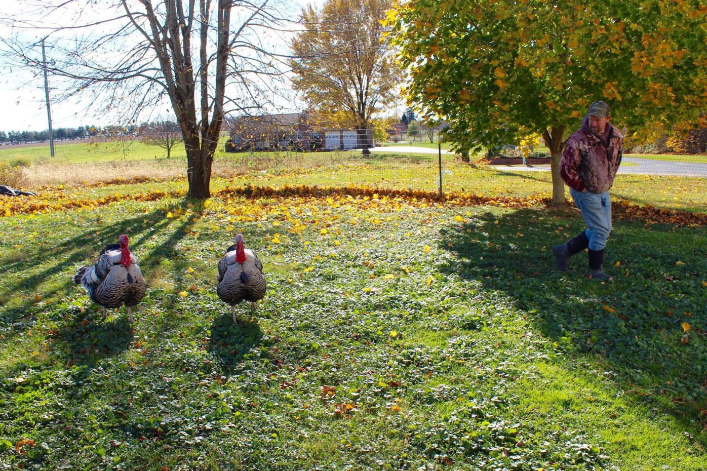 Gifford's Farm TV Turkeys