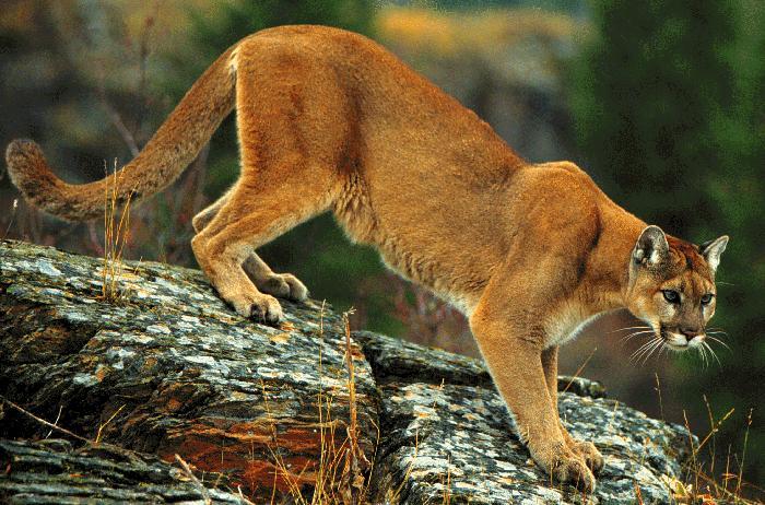 Delaware cougars
