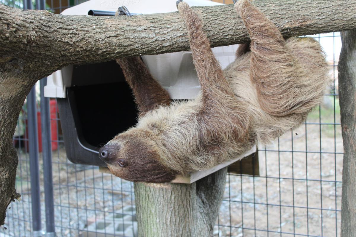 Sid the sloth added to Plumpton Park Zoo | Local News