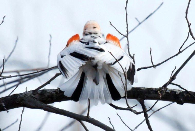 Leucistic Red Winged Blackbird - Back - By Nancy Nabak .jpg