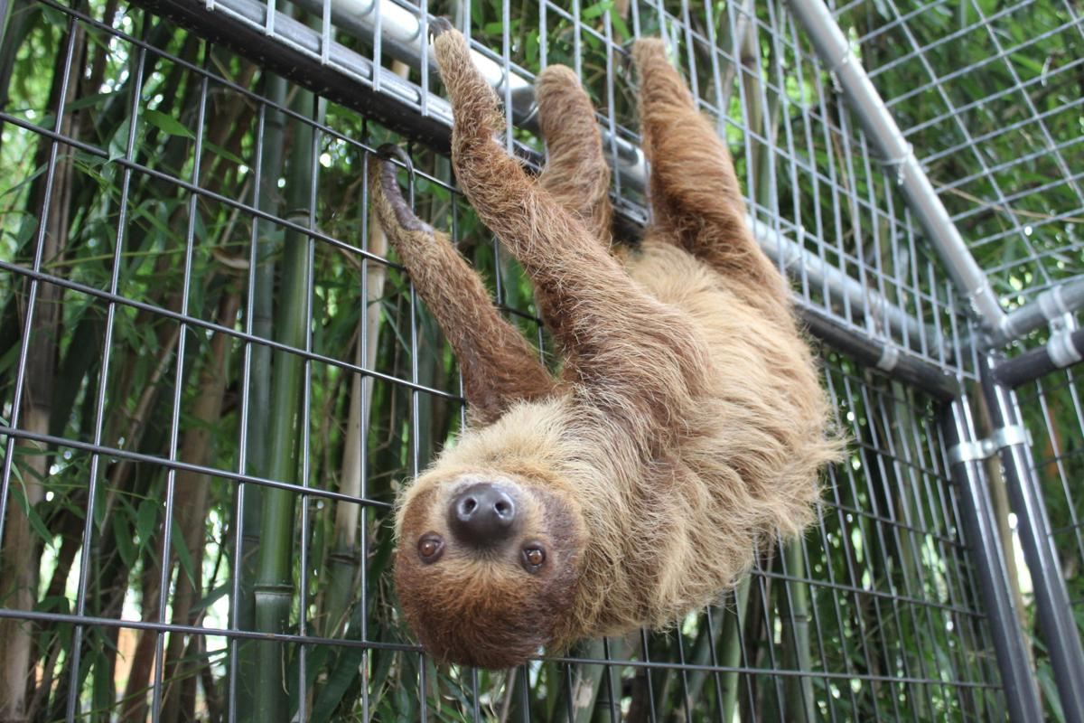 Sid the sloth makes his Plumpton Park Zoo debut