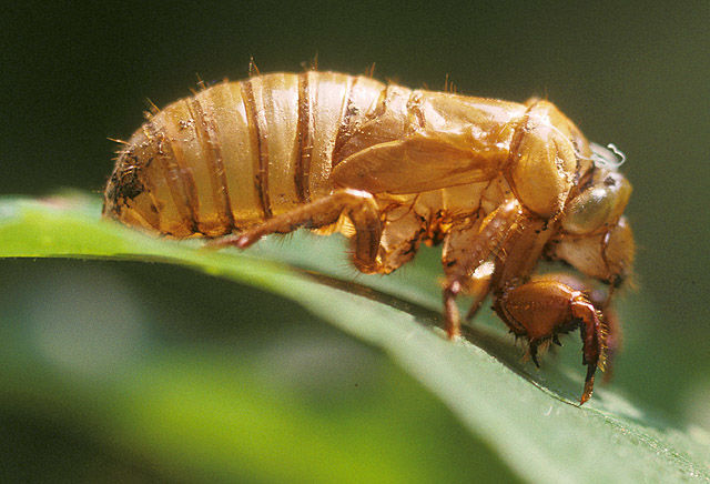 The 17 year cicadas are coming