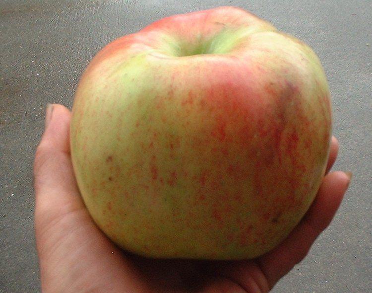 King of Tompkins apple