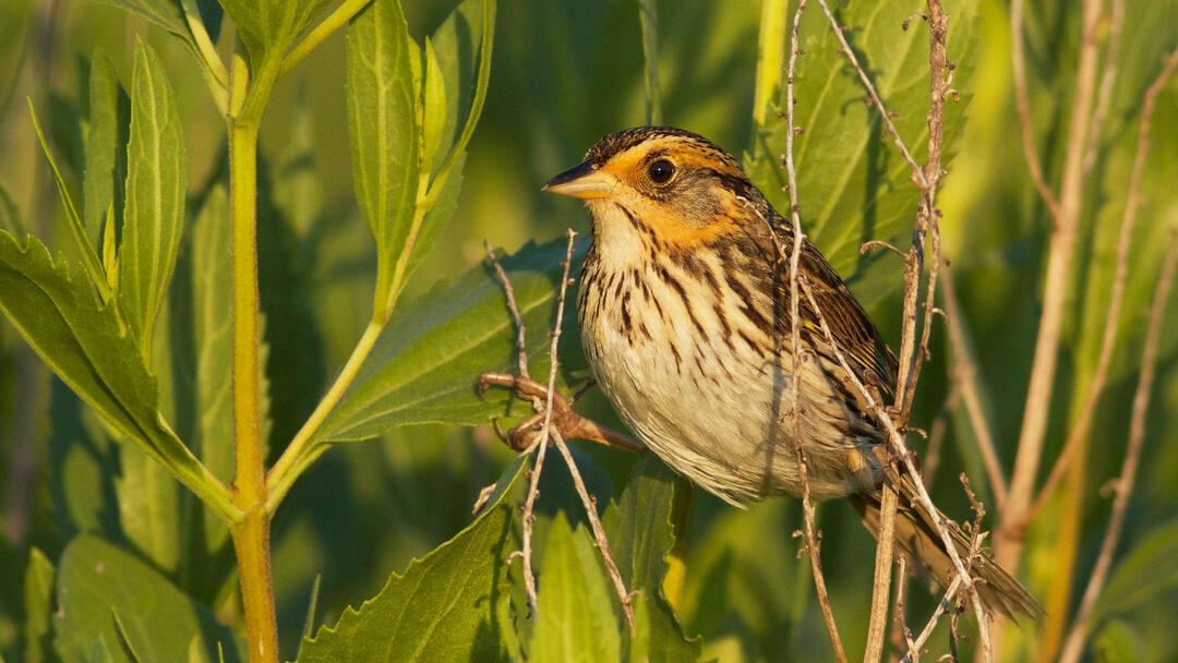 ESLC grant will help the endangered Saltmarsh Sparrow