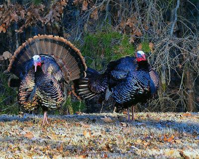 Winter turkey hunt success