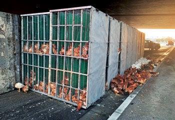 Chickens roam after truck trailer flips