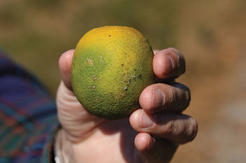 A citrus fruit infested with the Asian citrus psyllid.