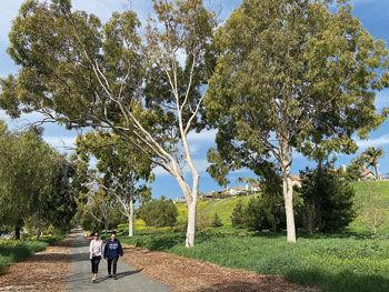"""Lemon-scented gum trees or """"Eucalyptus Citriodora"""""""