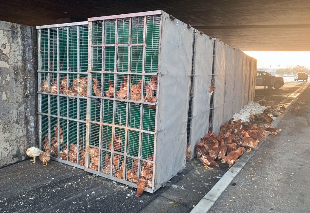 Semi truck carrying hundreds of chickens overturns on Grand Avenue