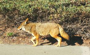 Coyotes are a common sight in Chino Hills
