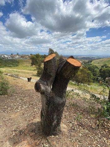 Chopped Coast Live Oak