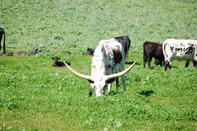 Longhorn cattle graze at Tres Hermanos