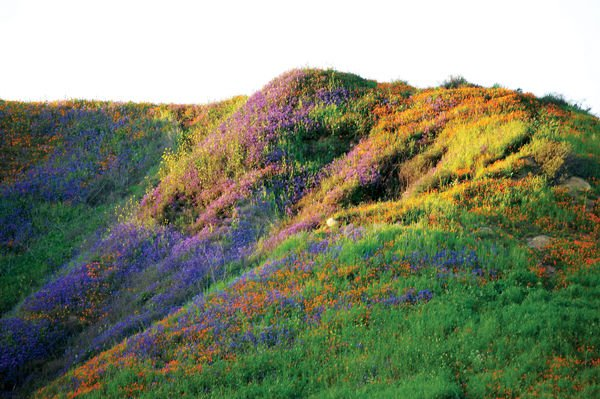 Super bloom in the Chino Valley
