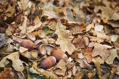 Oak Foraging