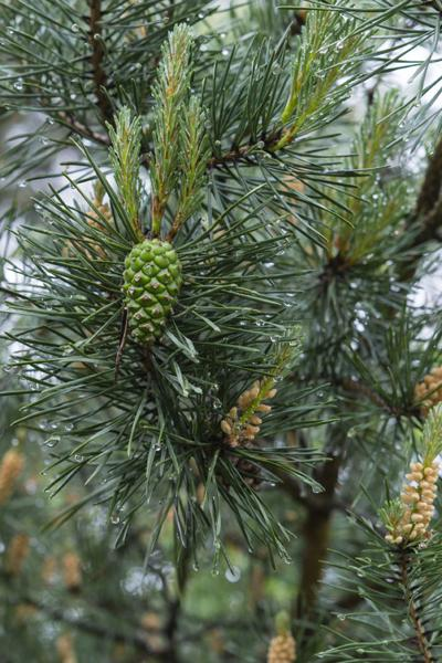 Foraging pine nuts