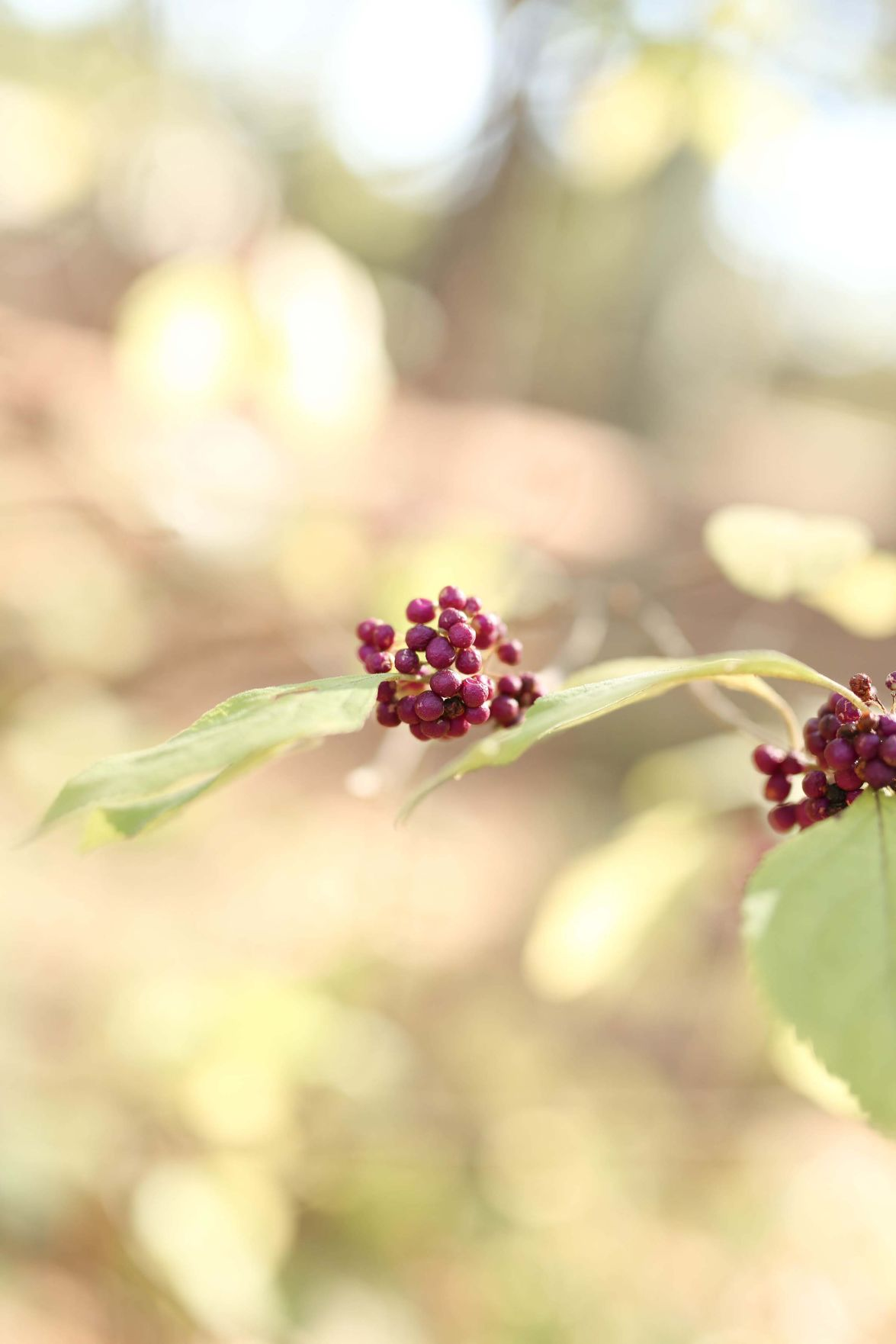 Beautyberries
